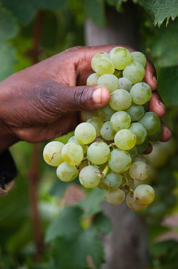 Selezionamento dell'uva fresca immagine stock libera da diritti