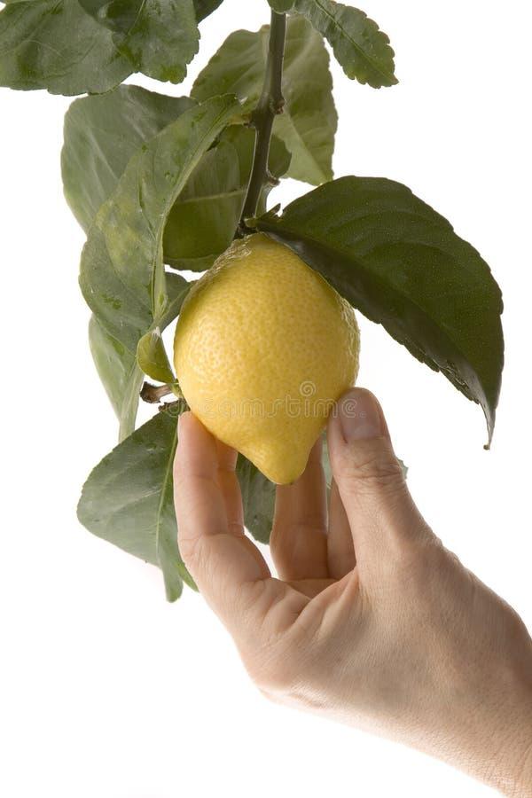 Selezionamento della frutta d'attaccatura bassa immagine stock