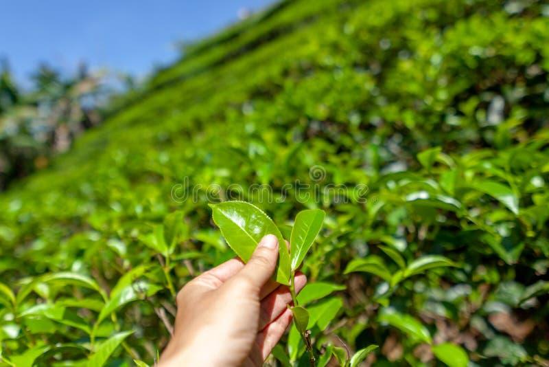 Selezionamento della punta della foglia di tè verde dalla mano umana sulla collina della piantagione di tè, isola del Ceylon immagini stock