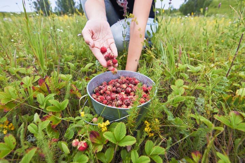 Selezionamento delle fragole di bosco in un campo della foresta fotografia stock libera da diritti