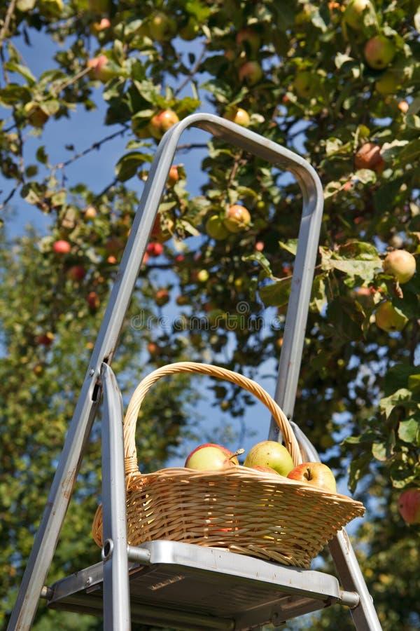 selezionamento delle mele fotografie stock libere da diritti
