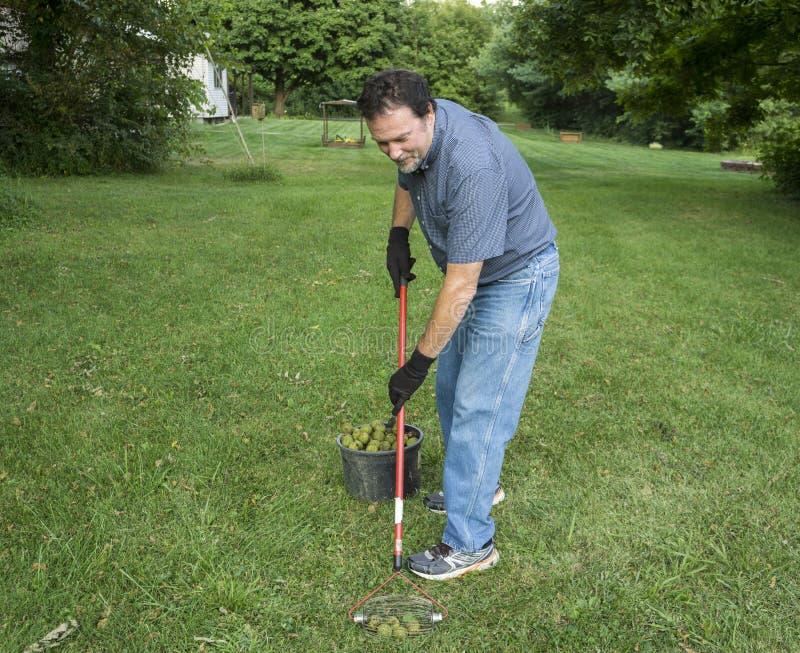 Selezionamento delle noci su cadute nell'erba fotografia stock