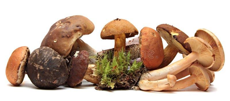 Selezione foraggiata selvaggia del fungo isolata su bianco fotografie stock libere da diritti