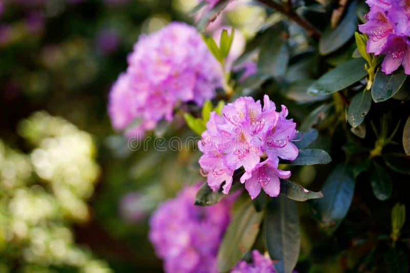 Selezione ibrida di fioritura di hybridum del rododendro di Azalia in una serra Priorità bassa del fiore Fiori sboccianti immagini stock libere da diritti