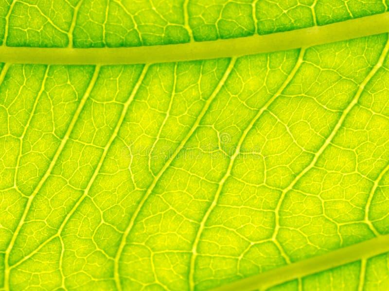 Selezioni il fuoco della macro verde di struttura della foglia e velato di struttura delle foglie Utile come fondo immagine stock libera da diritti