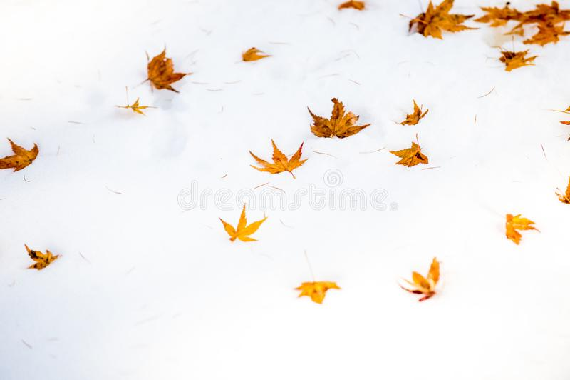 Selezioni la foglia di acero del fuoco su un acer palmatum della neve fotografia stock