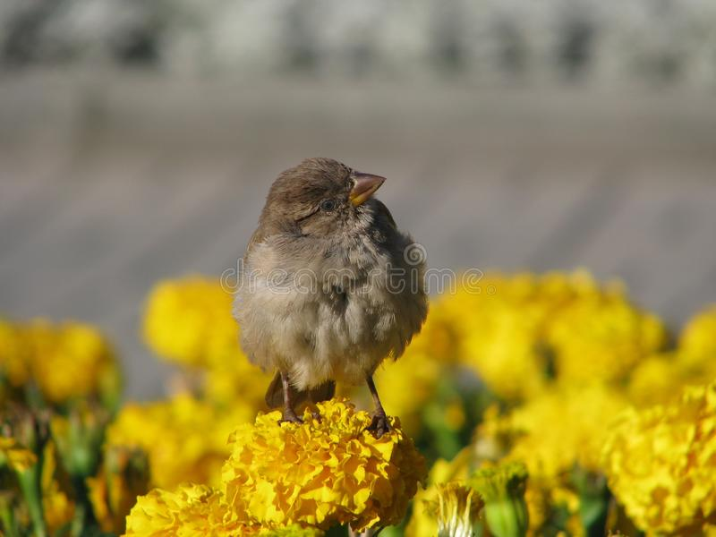 Download Self-confident sparrow stock photo. Image of being, keen - 13683390
