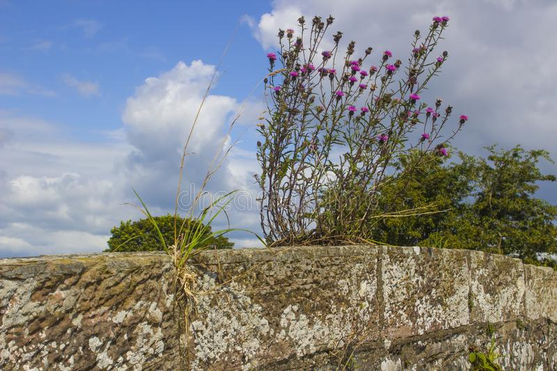 Self seeded thistle and barley weeds growing out of a wall stock photo