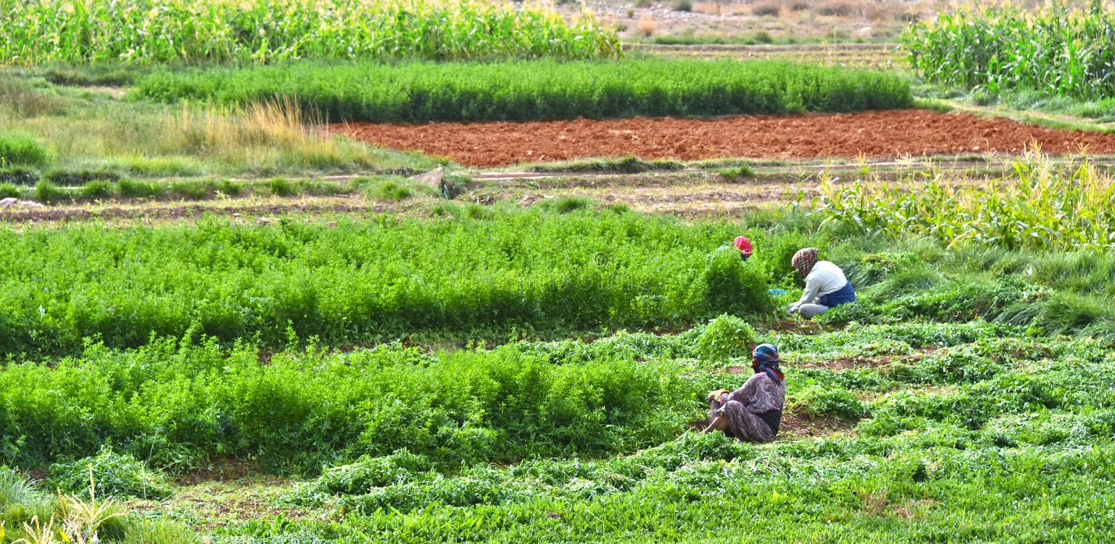 Self-sufficient labor-intensive farming in Morocco. Traditional sustainable agriculture royalty free stock image