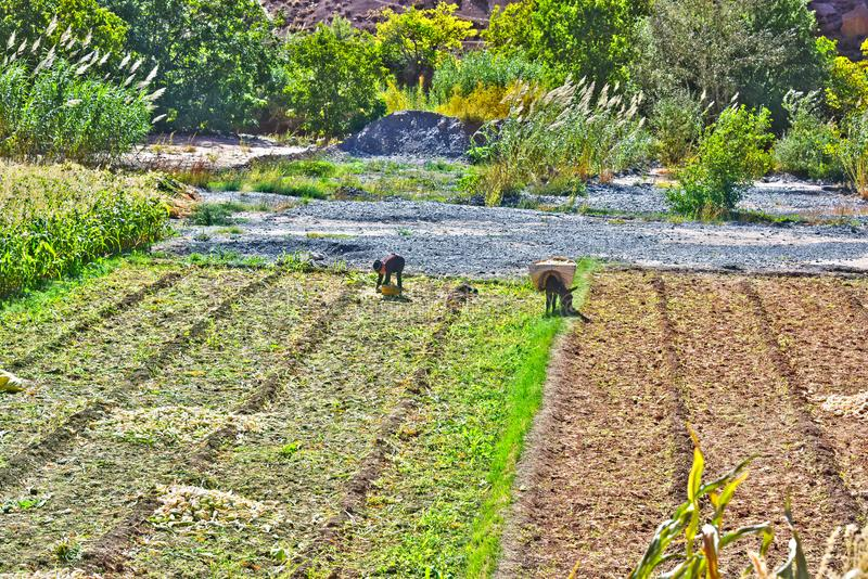 Self-sufficient labor-intensive farming in Morocco. Traditional sustainable agriculture royalty free stock photography