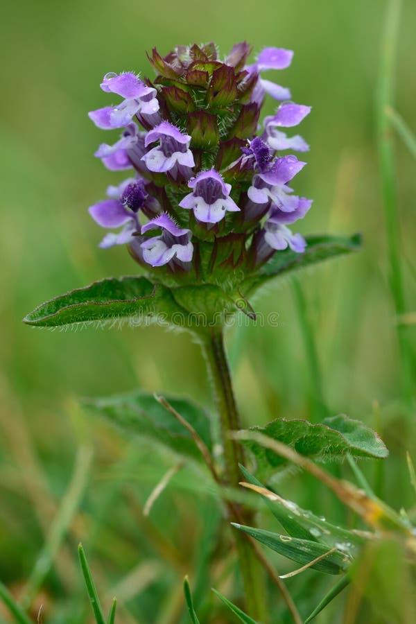 Selfheal (vulgaris Prunella) royalty-vrije stock foto