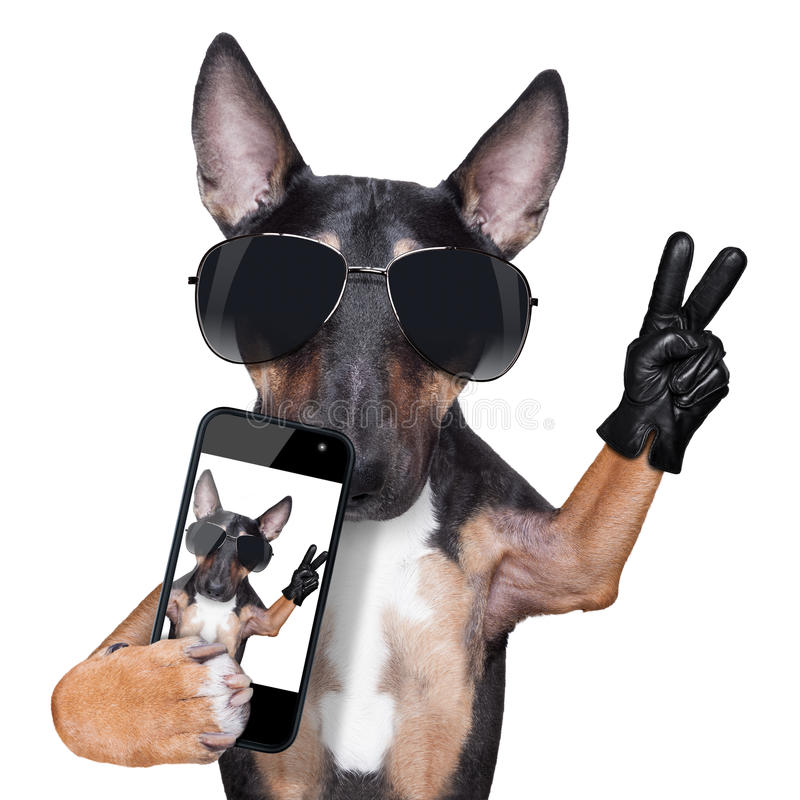 Selfie del CANE di bull terrier fotografia stock
