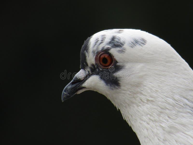 Selfie der weißen Taube am Pfosten lizenzfreie stockfotos