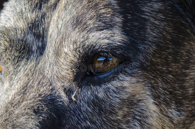 Selfie-reflet photographe dans la fosse à remous d'âge moyen taureau de race mixte chien eyeball photos libres de droits