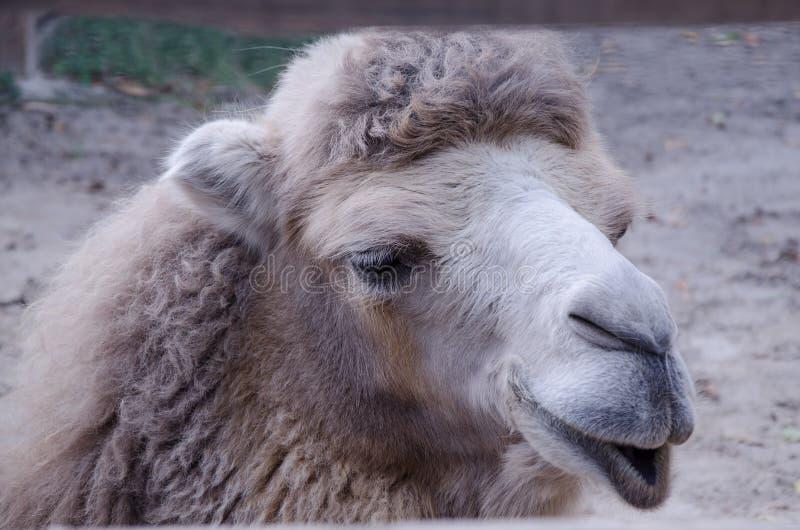 Selfy kameel` s portret; - royalty-vrije stock afbeelding
