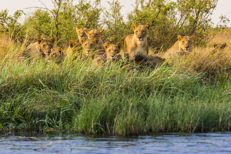 The Selinda pride. Pride of lion (Panthera leo) watching a boat load of tourists go by stock photography