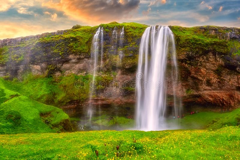 Seljalandsfoss waterfall in Iceland at sunset, amazing summer landscape with green flowering meadow and falling water, travel. Seljalandsfoss waterfall in stock photo
