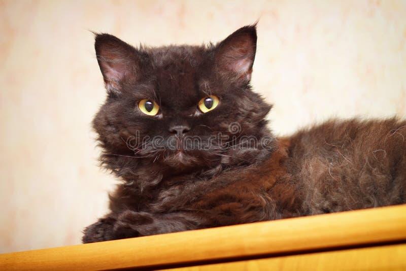 Download Selkirk Rex stock photo. Image of kitten, breed, cute - 28378040