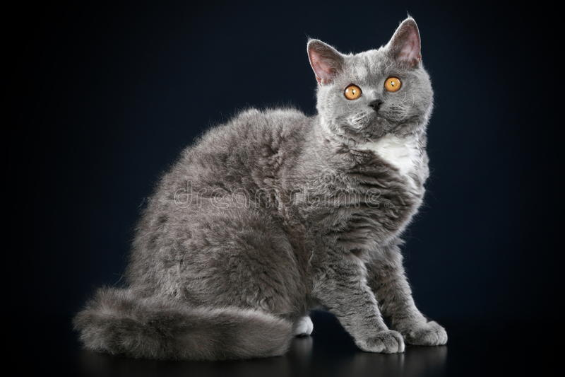 Selkirk Rex breed cat