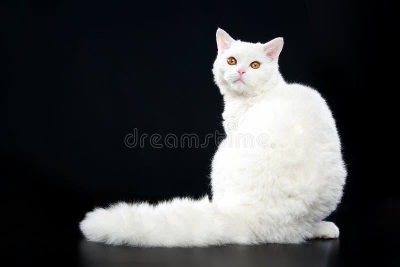 Download Selkirk Rex Cat Stock Photo - Image: 19749680