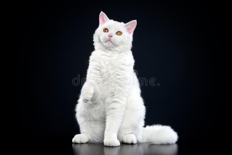 Selkirk rex cat stock images