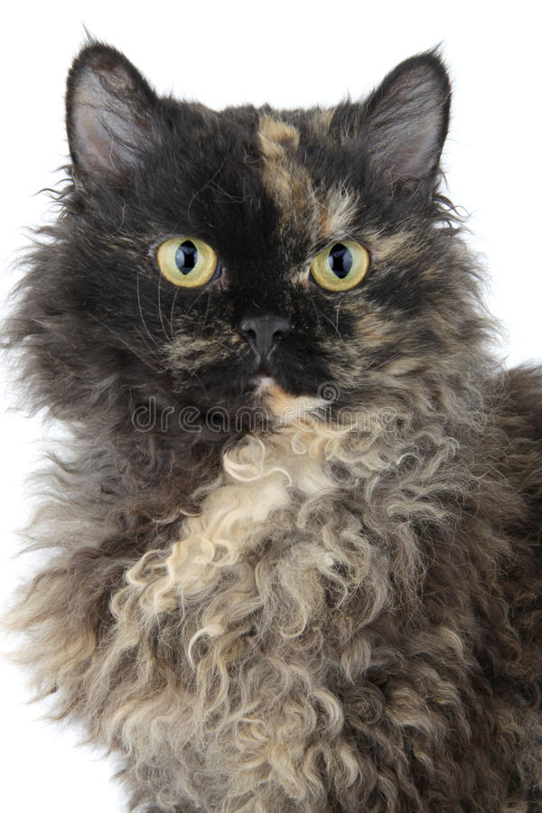 Selkirk Rex cat stock image