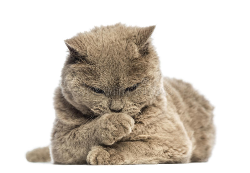 Download Selkirk Rex Lying And Looking At Its Paw Stock Photo - Image: 29012880