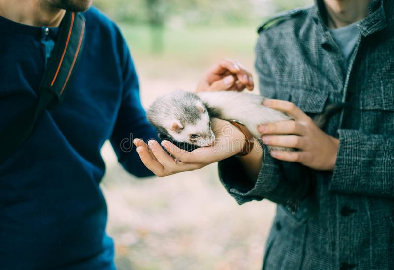 Selling a nice cute pet, a sleepy ferret on the hands of men, protecting animals in their environment, social. Advertising for the protection of wild marten stock photos