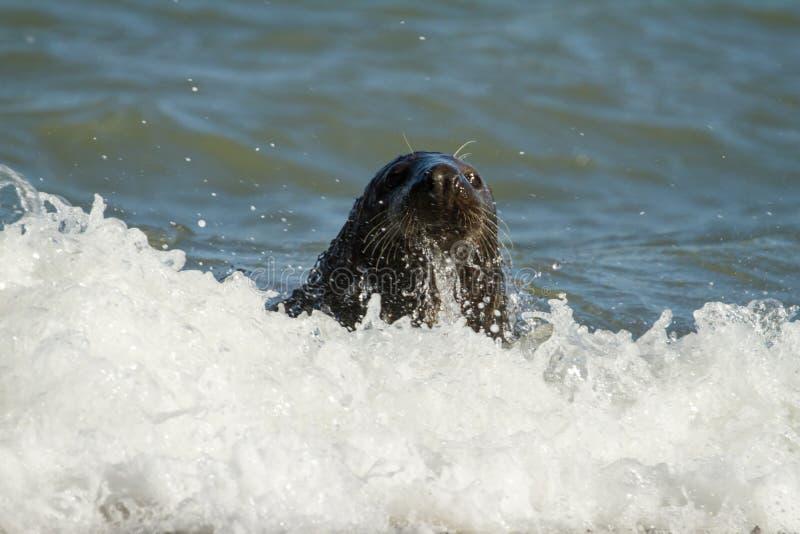 Sello común del gris que juega en el mar foto de archivo
