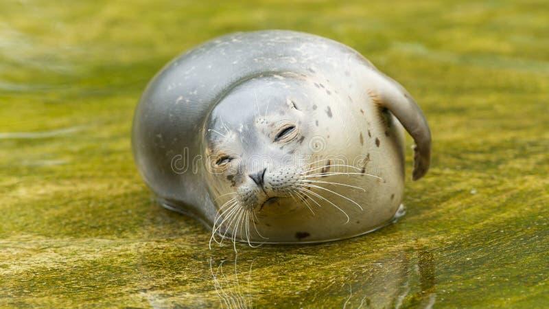 Sello común que descansa en el agua foto de archivo