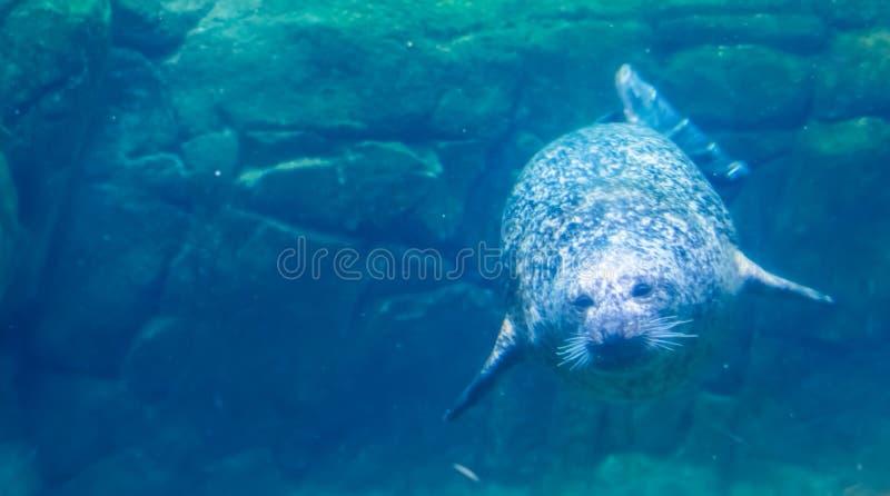 Sello com?n que nada el retrato subacu?tico, hermoso de un sello de puerto, mam?fero marino com?n de la costa pac?fica y atl?ntic fotos de archivo