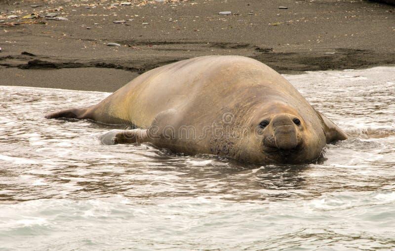 Sello de elefante antártico imagen de archivo libre de regalías