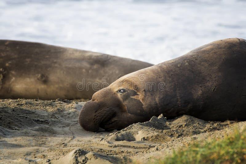 Sello de elefante norteño descansa en arena en perfil cerrado fotos de archivo libres de regalías