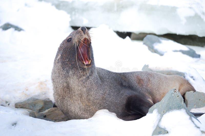 Sello de piel antártico con boca abierta sentada en la nieve, región de islas argentinas, isla de Galindez, Antártida imágenes de archivo libres de regalías