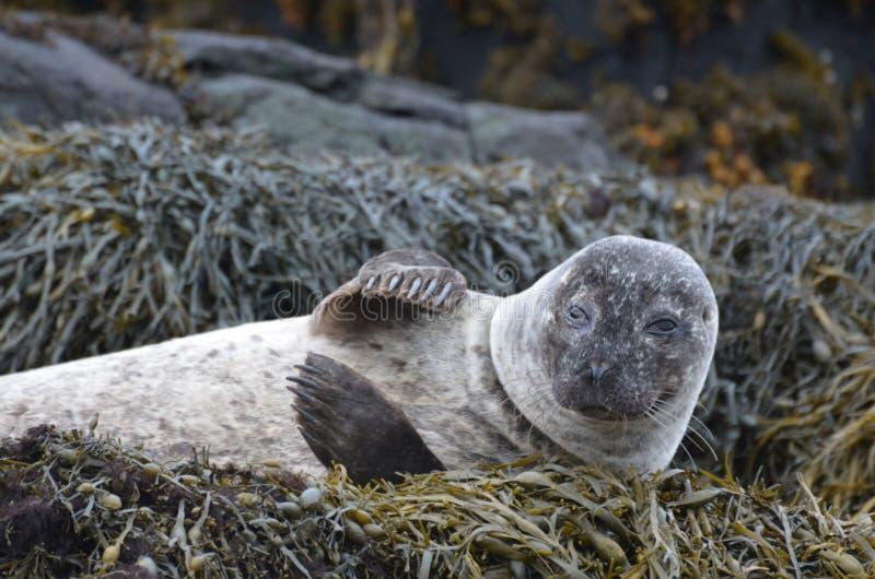 Sello de puerto que agita en sus amigos en alga marina foto de archivo