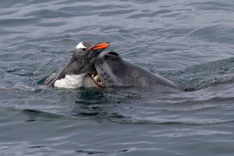 Sello del leopardo que ase el pingüino del gentoo fotos de archivo libres de regalías