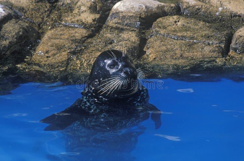 Sello en el agua, mundo del mar, San Diego, CA foto de archivo libre de regalías