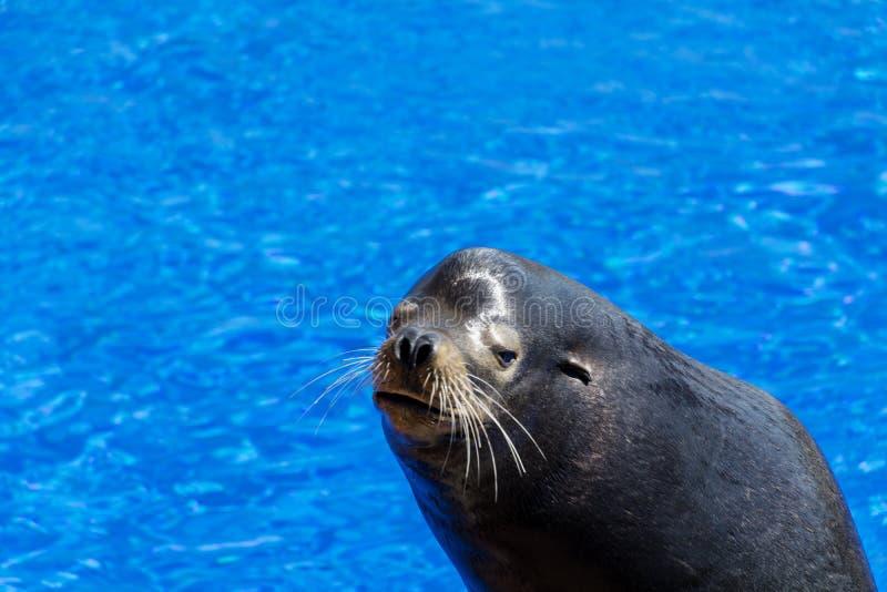 Sello marino en un fondo del agua azul foto de archivo libre de regalías