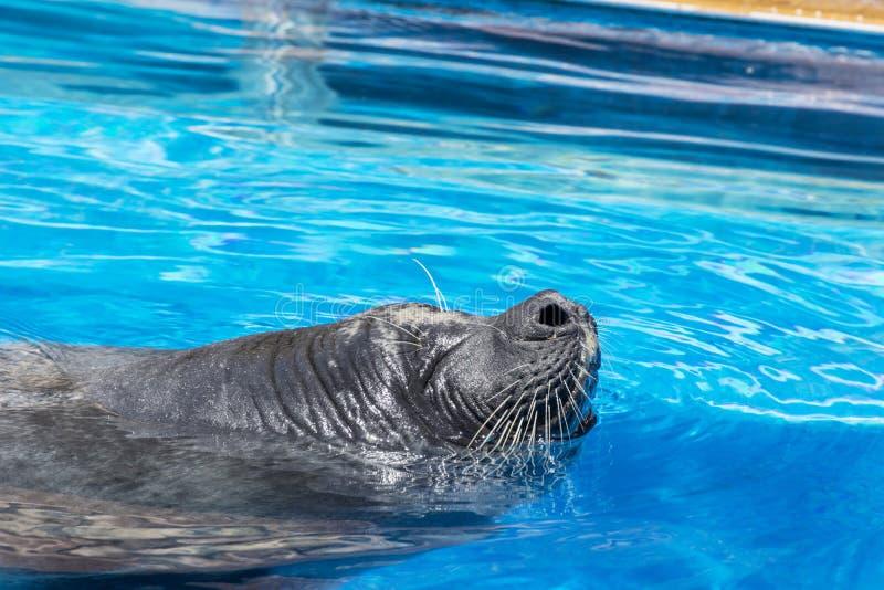 Sello marino que toma una respiración en una piscina - ascendente cercano foto de archivo