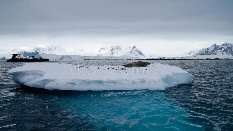 Sellos de la Antártida en estante de hielo cerca de la isla de Peterman en la Antártida foto de archivo libre de regalías