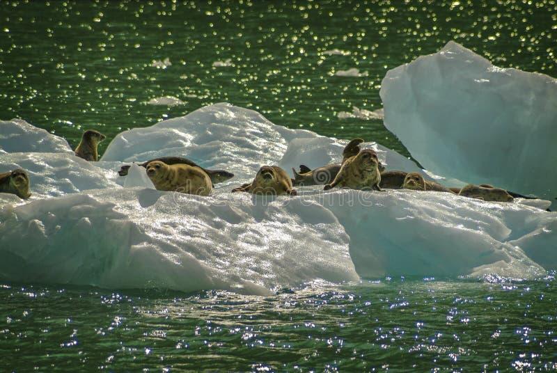 Sellos de puerto en un flujo del hielo del glaciar de LeConte imágenes de archivo libres de regalías