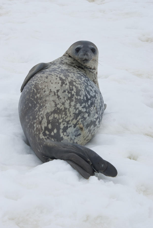 Sellos De Weddell Que Descansan Sobre El Hielo. Fotografía de archivo libre de regalías