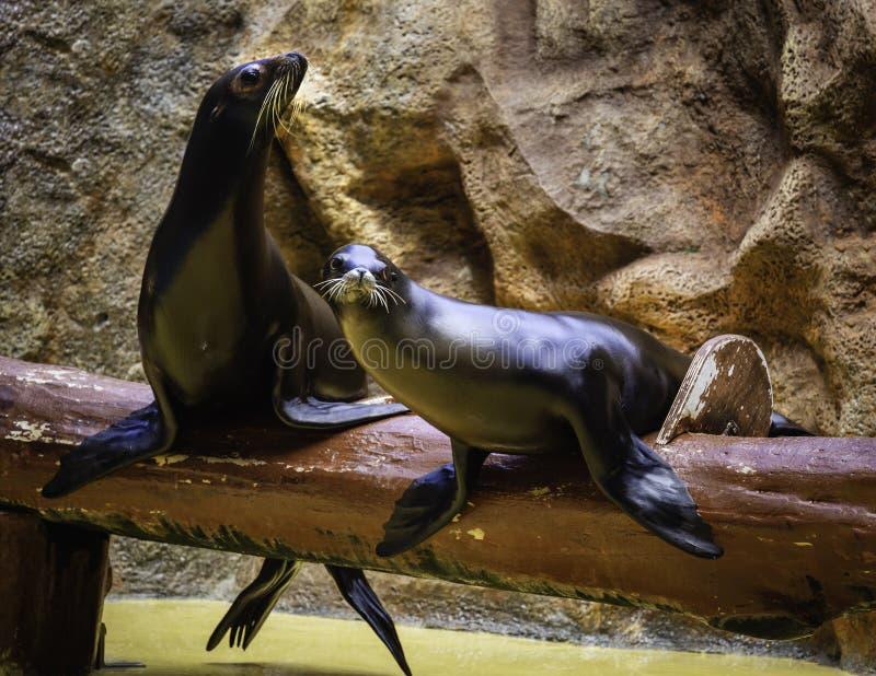Sellos durante las demostraciones organizadas en parque zoológico del acuario fotografía de archivo libre de regalías
