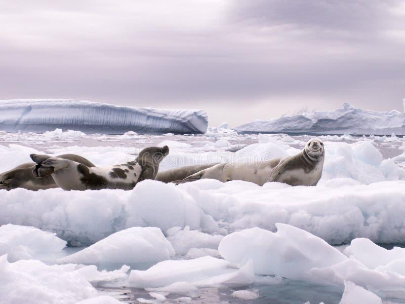 Sellos e icebergs fotos de archivo libres de regalías