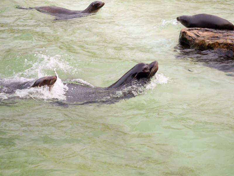 Sellos en la piscina del parque zoológico en Berlín foto de archivo libre de regalías