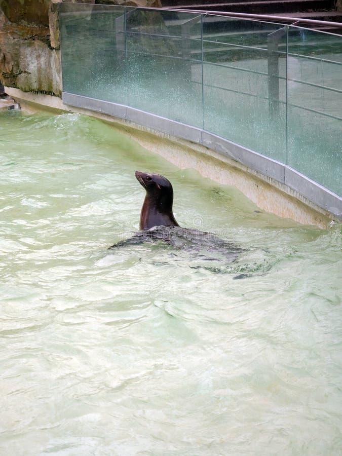 Sellos en la piscina del parque zoológico en Berlín imagenes de archivo