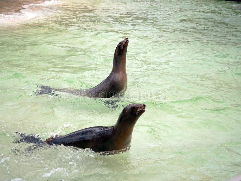 Sellos en la piscina del parque zoológico en Berlín imagen de archivo