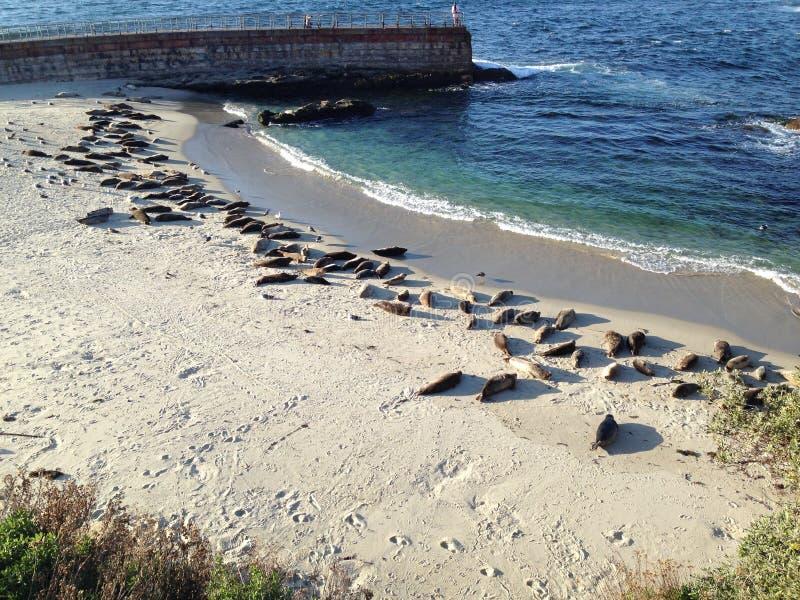 Sellos en la playa imagen de archivo libre de regalías