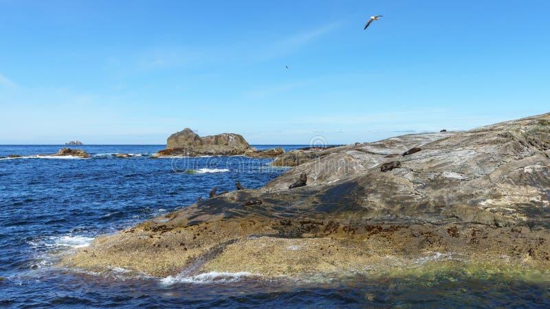 Sellos en rocas en el sonido dudoso, fiordland, Nueva Zelanda 3 fotos de archivo
