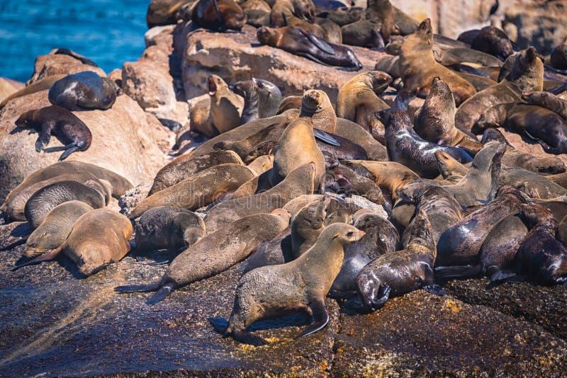 Sellos en una isla del sello de la bahía de Hout en Cape Town fotografía de archivo libre de regalías